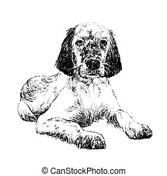 English setter , hand draw vector