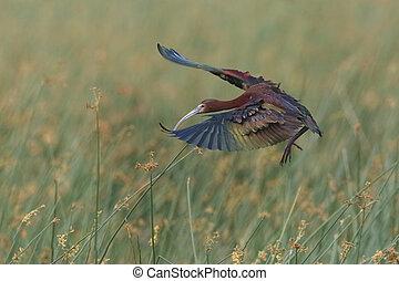 White-faced Ibis Landing in a Marsh - White-faced Ibis...