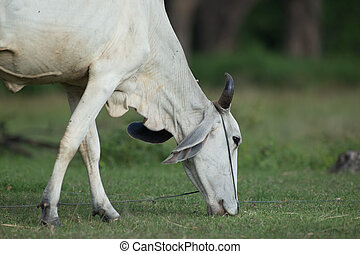 Asia cow  in country field