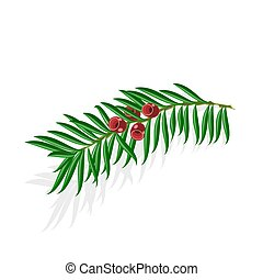 Yew sprigs with red berries isolated on white background...