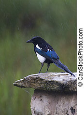 Magpie  (pica pica) standing on a wall in the rain