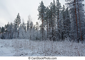Winter scene . .pine  snowy forest