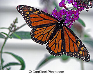 butterfly - beautiful orange monarch butterfly on butterfly...