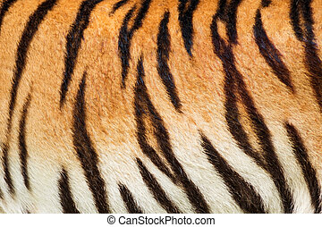 Tiger - Beautiful tiger fur - colorful texture with orange,...