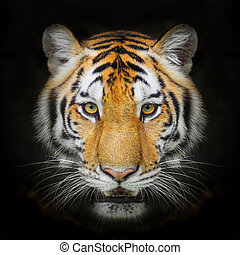 Tiger, portrait of a bengal tiger. isolated on black...