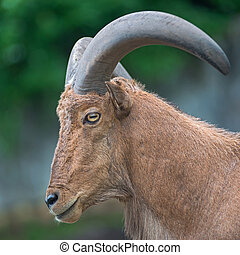 Barbary sheep - Close-up Barbary sheep (Ammotragus lervia)