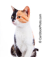 Calico Cat Isolated on the White Background