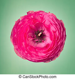 One pink ranunculus flower on a faint green background