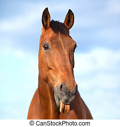 6 years old bay horse sticking his tongue