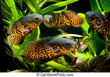 Oscar fish in Aquarium, Astronotus ocellatus aquarium with...
