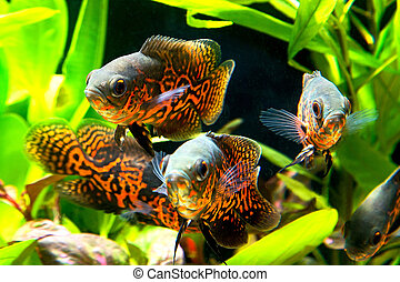 Oscar fish Astronotus ocellatus - huge cichlid close up...
