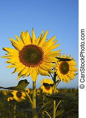 sunflower field 2 - sunflowers in a field in early morning...
