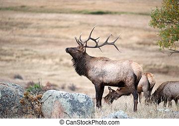 norte, norteamericano, elk, ,