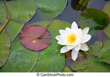 Beautiful white waterlily in a pond