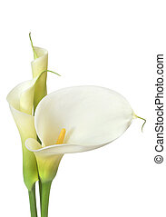 White Calla Lilies - White calla lilies, isolated on white...