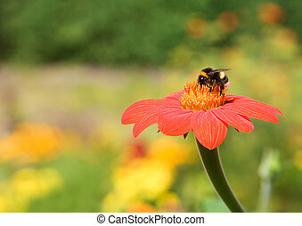 Bumble-bee on a red flower