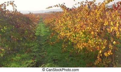 Colorful vineyard rows in fall on a sunny day Inkerman