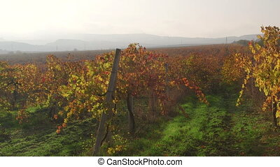 Sunny valley vineyards in fall near Inkerman Crimea
