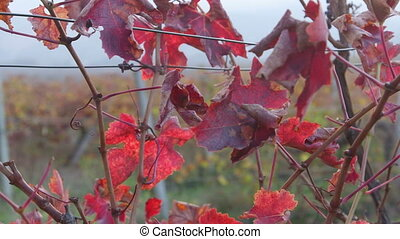 Dolly: Vineyard red leaves in the fall close-up