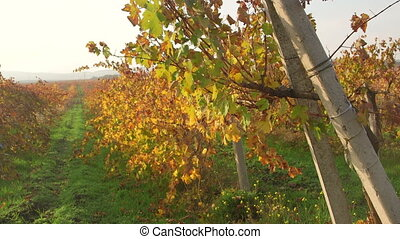 Crimean valley vineyards in fall on a sunny day near Inkerman