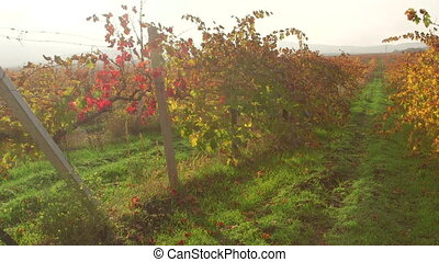 Autumn colors of vineyard valley in sunny haze