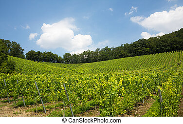 vineyard in Nordrhein-Westfalen, Germany - nice vineyard in...