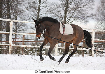 Brown horse working on the lunge in winter