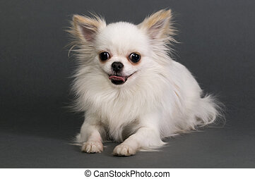 Long haired chihuahua sitting in front of gray background.