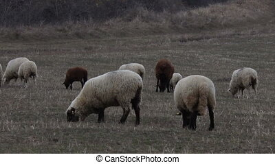 Brown Sheep Grazing