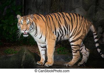Tiger,