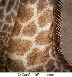 Giraffe - Close up neck Giraffe