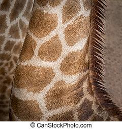 Girafa,