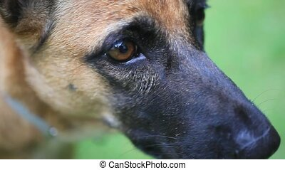 Close up of eye and nose Of german shepherd puppy - Close up...