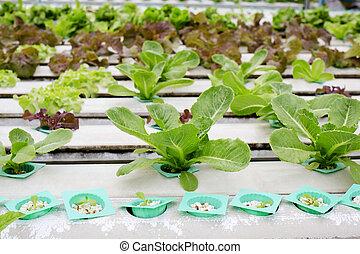 organique, hydroponic, légume, jardin, dans,...