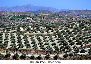 Agriculture in Crete, Greece. - Agriculture: olive...