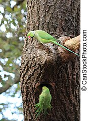 Feral Rose-ringed Parakeet (psitticula kraneri) in West...