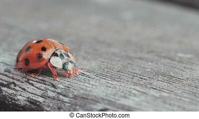 ladybug macro slow motion on wood