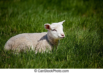 Happy Lamb - A happy lamb laying in a pasture of grass