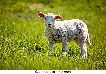 Lamb - A small lamb in a pasture of sheep looking curious at...