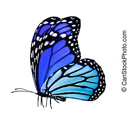 Blue butterfly , isolated on white mirror background - Blue...