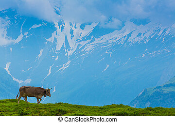Brown milk cow in a meadow of grass im alps