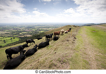 hillside cattle