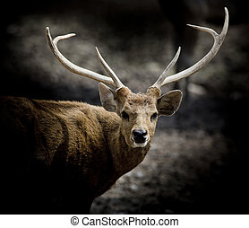 Scottish red deer stag