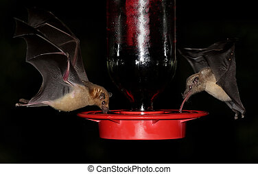 Bats At A Feeder - Endangered Lesser Long-nosed Bat...