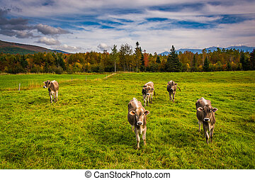 Cows in a farm field near Jefferson, New Hampshire