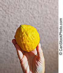 The yellow citrus - etrog - Ritual yellow citrus - etrog in...