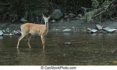 Deer in the river. - Female white-tailed deer in the river....