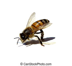bee isolated with its shadow over white background