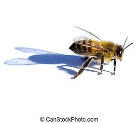 bee over white background - bee isolated with its shadow...