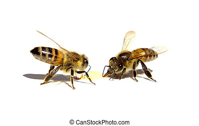 Bees eating honey - Two bees isolated is eating of a drop of...